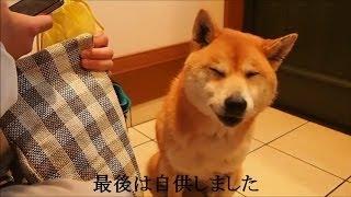 犯行(おなら)を否認したあと自供する柴犬 Shiba Inu Cookie let a fart.