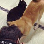 猫にいたずらしようとすると犬が慌てて阻止しに来た Shiba Inu protect the cat