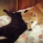 甘えるだけ甘えて先に寝る柴犬と起こされた猫が癒されすぎww
