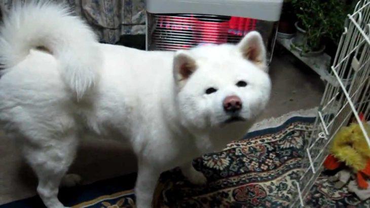 【秋田犬げんき】オナラをして恥ずかしがる 【akita dog fart】