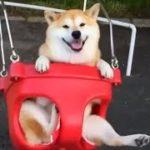 【癒し注意】おもわずほっこりしちゃう可愛い柴犬(shiba-inu)映像集