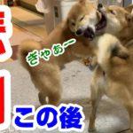 イタズラ子犬が先住犬の柴犬に注意され猛反発!その後襲いかかった悲劇とは!?