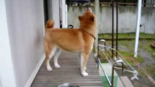 「夕焼けこやけ」のチャイムにあわせて歌う犬