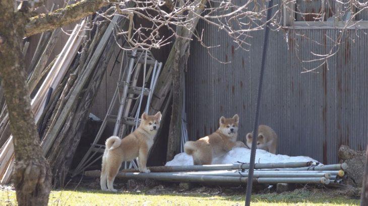 イタズラをしている自覚がある秋田犬の子犬たち