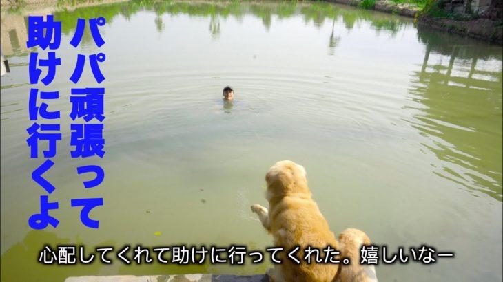 「感動犬」溺れてる飼い主を全力で助けようとするゴールデンレトリバー犬