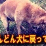 """【涙・感動の話】「どんどん犬に戻ってね」""""初めて穴を掘る元盲導犬""""に対する飼い主の言葉に多くの反響『涙あふれて』"""