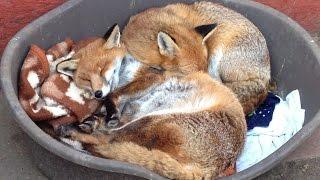 犬と間違えられて保護されたキツネ、犬っぽすぎて野生に返せず。