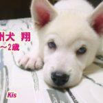 紀州犬 翔 1-2歳 Kishu dog Sho 1-2 years old 2