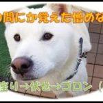【癒しの動画:紀州犬の覚えた妙な芸】いつの間にか覚えた『ゴロン』