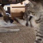 柴犬リキまさかのオナラ!子猫が気づいた?–Cat angry to dog farts–