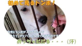 【癒しの動画:初めて見るトンボにビビる紀州犬】