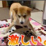 柴犬がよくやる、この興奮してるやつ。めっちゃ可愛いと思う人 — Shiba ,zoomies —
