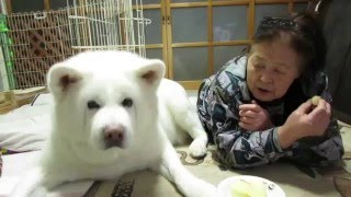 【秋田犬げんき】食べられそうになったりんごを取り返す【akita dog】