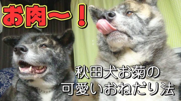 【虎毛秋田犬】お肉に目がない秋田犬お菊!可愛い鳴き声で飼い主におねだり【元保護犬】【akitainu】