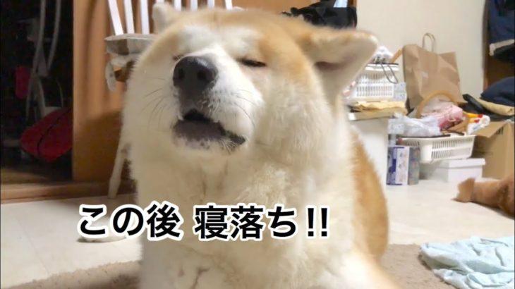 秋田犬じんくんの寝落ちする瞬間🐶🤣💤💕[akitainu][shibainu]