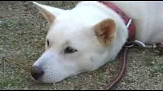 ふてくされた紀州犬