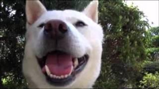 【紀州犬】事件はありましたが本当はこんなに可愛いワンチャンです・・・