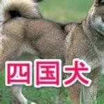 【犬図鑑】四国犬