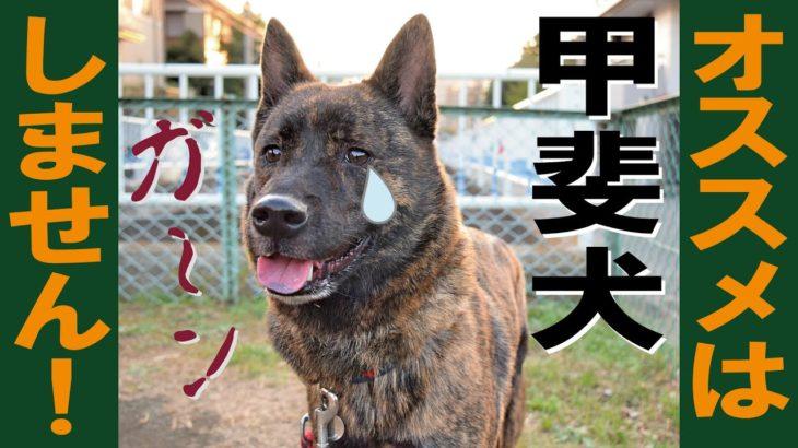 甲斐犬は素晴らしいけれどオススメはしません=!【甲斐犬・柴犬】