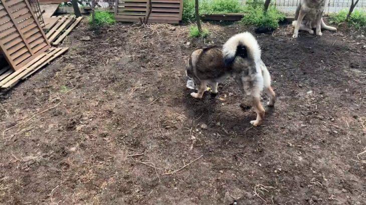 四国犬 ペットボトルでテンションアゲアゲ😊