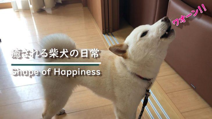 遠吠えがする姿があまりにも可愛すぎた柴犬ノンくん【カワイイ・面白い・癒し】