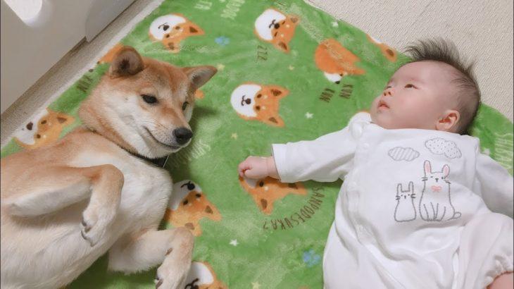 【子守犬】赤ちゃんの泣き声に反応する柴犬りんご郎
