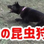【犬の昆虫狩り】虫採り犬- 甲斐犬いち