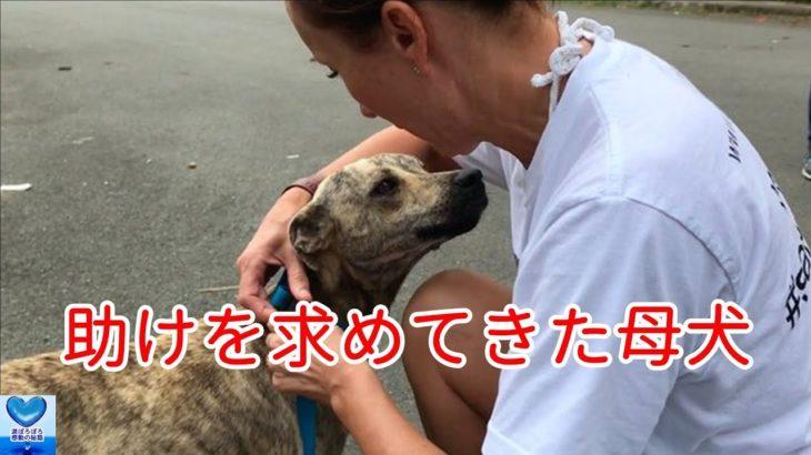 海岸を歩いていた1匹の母犬が助けを求めてきた。保護するとその理由が明らかに・・・【感動】