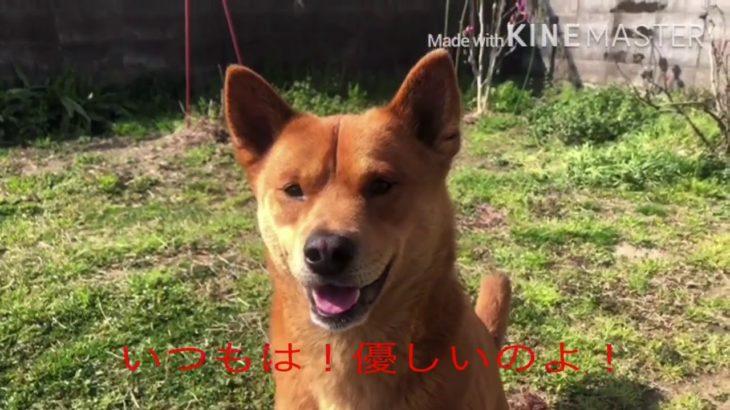 四国犬!こりゃ〜たまらん!と,思うベスト3 (桜鬼編)What l think the Shikoku dog was!