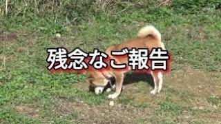 生後4ヶ月から薬漬け柴犬マロンちゃん ご報告