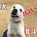 紀州犬 北斗パパへの愛!Dog Rescue A&R