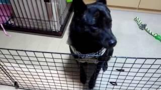 散歩を待ち侘びてきゅんきゅん鳴く甲斐犬
