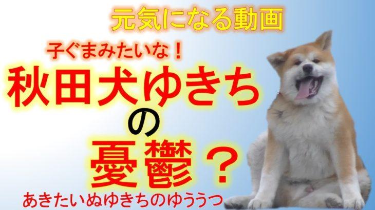 元気になる動画 子ぐまみたいな! 秋田犬ゆきちの憂鬱?