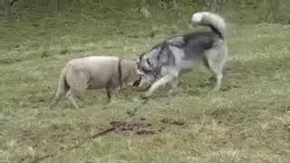 感動 幼なじみの犬と再会した羊が、
