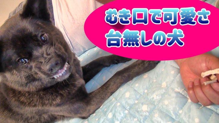 【犬のむき口】防衛本能が働く犬 – 甲斐犬いち