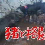 猪vs四国犬 激突!Training of hound dogs in Japan 25th October 2015 訓練
